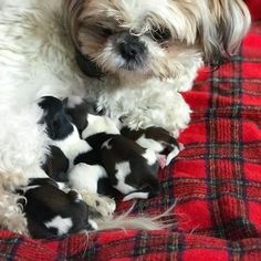 Foxie finally finished delivering all 4 Shih Tzu puppies. #shihtzu #puppy #foxiepup #shihtzupuppy