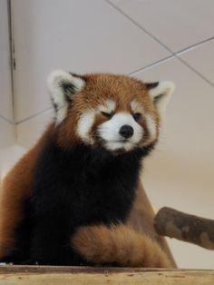 Red Panda - so cute. Red Panda Cute, Panda Love, Animals For Kids, Animals And Pets, Cute Animals, Cubs Pictures, Animal Pictures, Cutest Animals On Earth, My Spirit Animal