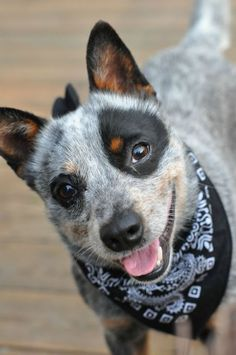 Bred for herding the toughest of the cattle, Australian Cattle Dogs are excellent at maintaining energy during the hot summer months. If you aren't working on a farm, these dogs make excellent hiking and running partners, regardless of weather!