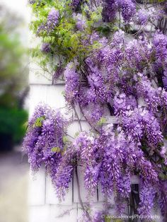 Wisteria Love - My husband thinks it's a weed, but for me it brings back memories of my grandmother's yard. I LOVE wisteria. My Flower, Purple Flowers, Flower Power, Beautiful Flowers, Purple Wisteria, Wisteria Garden, Flower Vines, Wisteria Tree, Flowers Garden