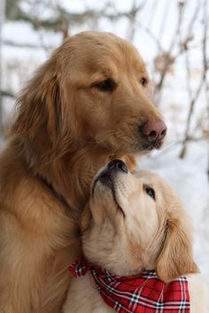 Finn & Teddy ~ Golden Retriever & Pup ~ Classic Look Beautiful Dogs, Animals Beautiful, Chien Golden Retriever, Golden Retrievers, Cute Puppies, Dogs And Puppies, Adorable Dogs, Pet Dogs, Dog Cat