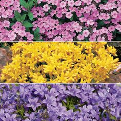 Weed Beater Bonus Collection (Tumbling Ted, Rock Soapwort, Biting Stonecrop, Goldmoss Stonecrop, Bellflower) Good idea for the lazy gardener. Biennial Plants, Outdoor Landscaping, Yard Ideas, Outdoor Ideas, Perennials, Weed, Planting Flowers, Lazy, Beautiful Places