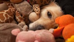 Tired of fetch? Here are 10 other games that are just as fun and will increase your dog& agility, mental awareness and sociability at the same time I Love Dogs, Cute Dogs, Animals And Pets, Cute Animals, Animal Reiki, Pet Gear, Dog Rules, Dog Agility, Dog Care