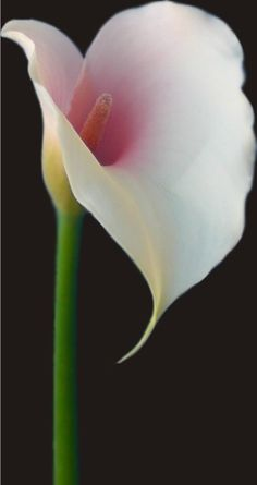 Beautiful bold calla lilly