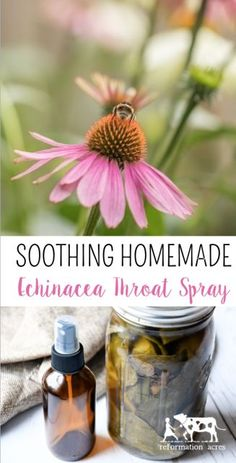Herbal Medicine Need a DIY Sore Throat Remedy? Try this soothing natural Echinacea Throat Spray made with the herbal ingredients echinacea purpea, sage tea, and propolis. A mist to the back of your throat brings instant relief! Holistic Remedies, Natural Health Remedies, Natural Cures, Herbal Remedies, Home Remedies, Sleep Remedies, Natural Healing, Healing Herbs, Medicinal Herbs
