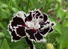 Most Beautiful Black Flowers with Pictures - Modernes Tall Flowers, Indoor Flowers, Flowers For You, Types Of Flowers, Growing Flowers, Planting Flowers, Flowers Garden, Black Calla Lily, Black Rose Flower