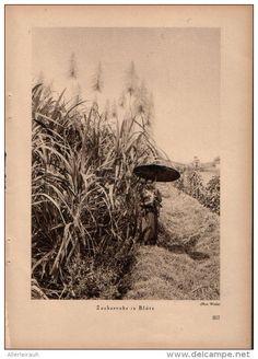 Zuckerrohr in Blüte - Druck, entnommen aus Velhagen und Klasings- Monatsheften…