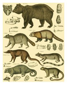 Lorenz Oken's categorized animals, early 1800's. Bears and Muselids connected