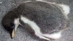 Twitter / Osaka_Kaiyukan: 「南極大陸」水槽で親鳥が子育て中のジェンツーペンギンの赤ちゃ ...