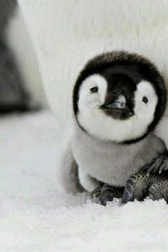 """Baby animals are cute too! This reminds me of """"Happy Feet""""."""