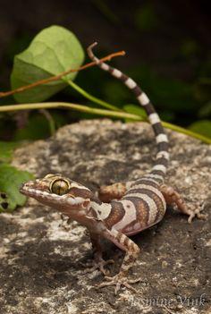 Coastal Ring Tailed Gecko (Cyrtodactylus tuberculatus) by jasmine vink Alligators, Reptiles And Amphibians, Mammals, Komodo, Crested Gecko, Tortoise Turtle, Animal Species, Weird Creatures, Tortoises