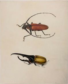 Watercolor the Titan beetle (Titanus giganteus), Hercules beetle (Dynastes hercules). Maria Sibylla Merian: Leningrader Aquarelle. Leipzig, 1974. Bd.2. S.243