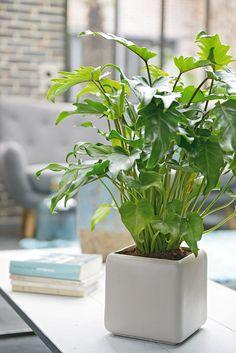 """Philodendron """"Xanadu"""", cette plante est facile à vivre et originaire du Mexique"""