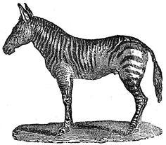 zebra.jpg (1246×1094)