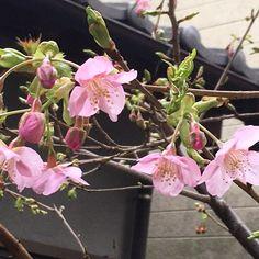 【news04_kt】さんのInstagramをピンしています。 《家の庭に桜が咲いたらしい! 以外と結構#春 かもね。  #桜#2月 だけど、、、》