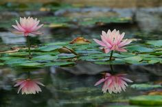Water Lilies by Birds & Blooms reader Judith (jrichey44)