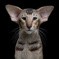 Jao vidi Ricard Gir :)   Oriental Shorthair | Here Are All The Cat Breeds You Never Knew Existed: