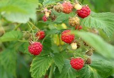 Growing Raspberries, Raspberry Bush, Raspberry Plants, Fruit Bushes, Fruit Trees, Amazing Gardens, Beautiful Gardens, Organic Fertilizer