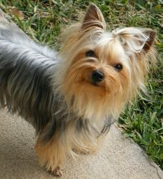 Yorkie traditional blue and tan