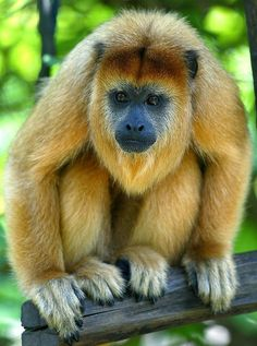 Study on Howler Monkeys Sheds Light on Interbreeding in Ancient ...