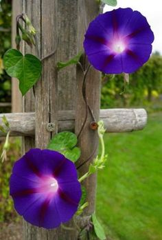 35 Cheap Organic Fertilizers to Power UP Your Garden This article offers 35 cheap organic fertilizers that you can use. Its like I told you life wi Morning Glory Tattoo, Morning Glory Vine, Morning Glory Flowers, Morning Glories, Sunday Rose, Blossom Garden, Birth Flowers, Flowering Vines, Organic Gardening