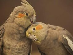hd wallpaper Cockatiels parrot lovebirds pair zoo birds picture Canon sample images background pictures