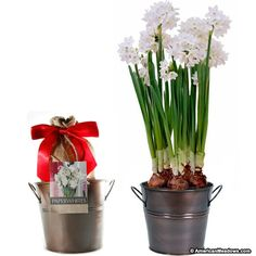 Paperwhite planting kit produces fragrant white blooms grown in a decorative copper colored pot.  It arrives in a burlap gift bag and is finished with a satin bow. Our Paperwhite planting kits are made exclusively for us; this kit includes pot, soil, bulbs and instructions. Paperwhite kit's are easy to grow and are a perfect gift.