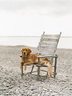 Golden dog on his beach chair. You know, because sometimes the beach is just a bit too sandy.