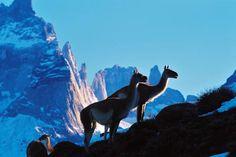 guanacos , torres del paine , patagonia