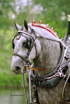 percheron - one of my all time favorite draft horses