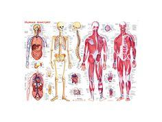 medical chart spine charts and nervous system charts - Google Search