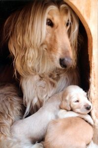 Afghan Hounds Hound Puppies, Hound Dog, Dogs And Puppies, Hound Breeds, Dog Breeds, Afghan Hound Puppy, Most Beautiful Dogs, Dog Stories, Hyena