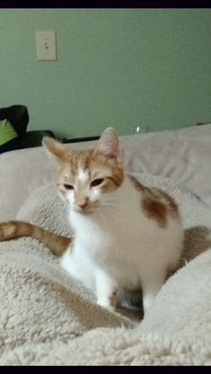 My little boy escaped through a window screen in the Parkview Rd section of Wallingford, CT. Please share and get the word out. Any information would be greatly appreciated.  His name is Link, he is supposed to be an indoor cat, he is skittish but very friendly with food or treats!!!  I appreciate any assistance. Please contact richard.lucas214@gmail.com or203-214-3655 if found or with sightings and information.