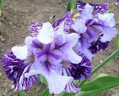 Millennium Falcon Bearded Iris