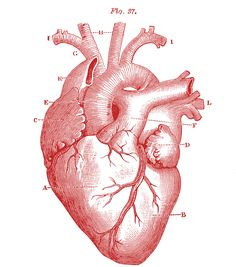 anatomical heart | Royalty Free Images - Anatomical Heart - Vintage - The Graphics Fairy