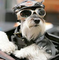 Harley dog :) Love it- but- don't think I could put any of mine on our Harley! It would scare me to death!