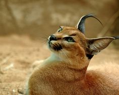 Also called the desert lynx, medium-sized caracals have no spots or stripes and have longer legs than a true lynx and a slimmer body. Caracals are the heaviest and also the fastest of the small cats.