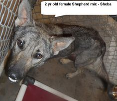 ●TO BE DESTROYED 3•16•18●Sheba is a nice looking german shepherd mix girl.rnPlease don't leave her in the shelter...