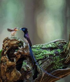 Japanese paradise flycatcher (Terpsiphone atrocaudata) padre e figlio (Foto © Nobby Clarke)
