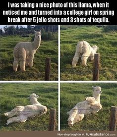 Llama photo shoot goes....awkward. lol
