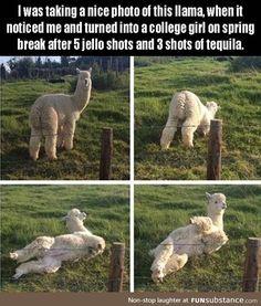 Llama photo shoot goes....awkward. lol