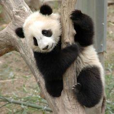 Tai Shan @ DC Zoo 2/18/06