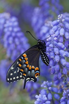 Swallowtail ~ Love~by Connie Etter Photography*