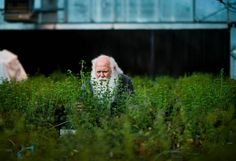 Howard-Yana Shapiro, chief agricultural officer for Mars Inc., stands among the alfalfa plants at one of the core greenhouse complexes he uses at UC Davis on Thursday. Shapiro is a world renowned cacao geneticist and avid motorcycle collector.