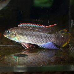 Pelvicachromis taeniatus Nigerian Green male
