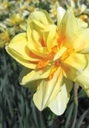Twink, 1925. Heirloom Daffodil Bulbs