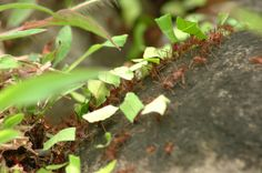 Trailing Leaf cutting ants.
