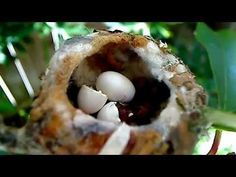 ▶ Emma's baby, Lucy the Baby Hummingbird Hatches! Also her first feeding! AMAZING! MUST SEE! - YouTube