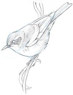 corona dibujo How to Draw an Orange-crowned Warbler step-by-step - John Muir Laws Bird Drawings, Animal Drawings, Pencil Drawings, Drawing Birds, Animal Sketches, Drawing Sketches, Sketching, Bird Sketch, John Muir