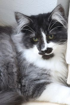 Beautiful Norwegian Forest Cat with grey, black and white markings.